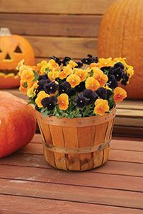 This fall, add drama to your porch with black and orange pansies in a Halloween display. If your winter is mild, they'll bloom from autumn all the way into spring.  More info at The Home Depot's Garden Club.