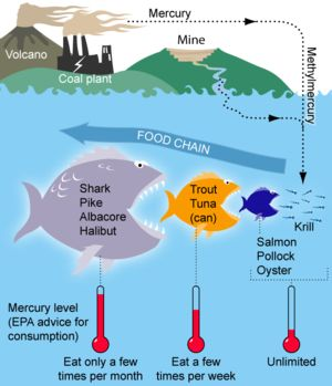 Mercury in Fish- Fish and shellfish concentrate mercury in their bodies, often in the form of methylmercury, a highly toxic organic compound of mercury. Fish products have been shown to contain varying amounts of heavy metals, particularly mercury and fat-soluble pollutants from water pollution.