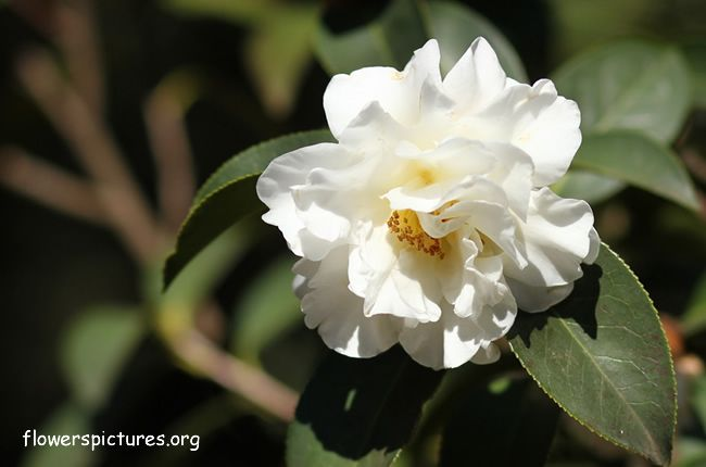 The 145 best camellia blooms images on pinterest camellia pictures of camellia flowers red camellia white camellia pink camellia images and photos of camellia flowers mightylinksfo