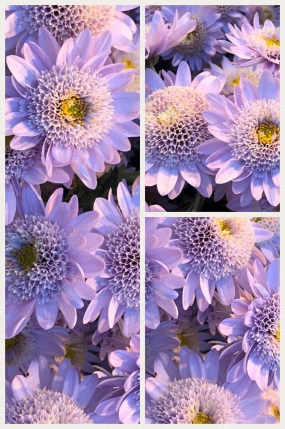 A Comprehensive Overview On Home Decoration In 2020 Chrysanthemum Seeds Mums Flowers Flower Seeds
