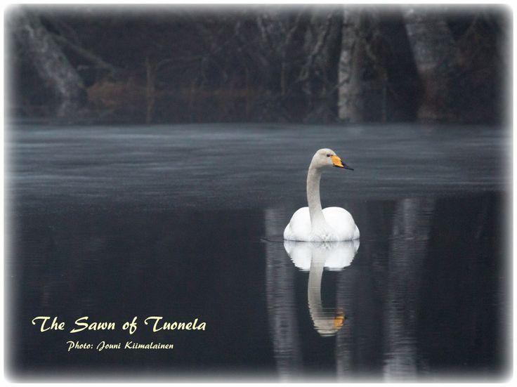 The Swan of Tuonela   Tuonelan joutsen   Photo: Jouni Kiimalainen