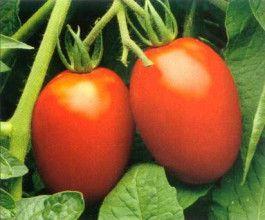roma-tomato
