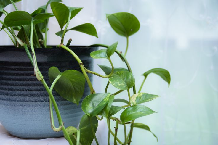 24 Best Images About Golden Pothos On Pinterest Devil