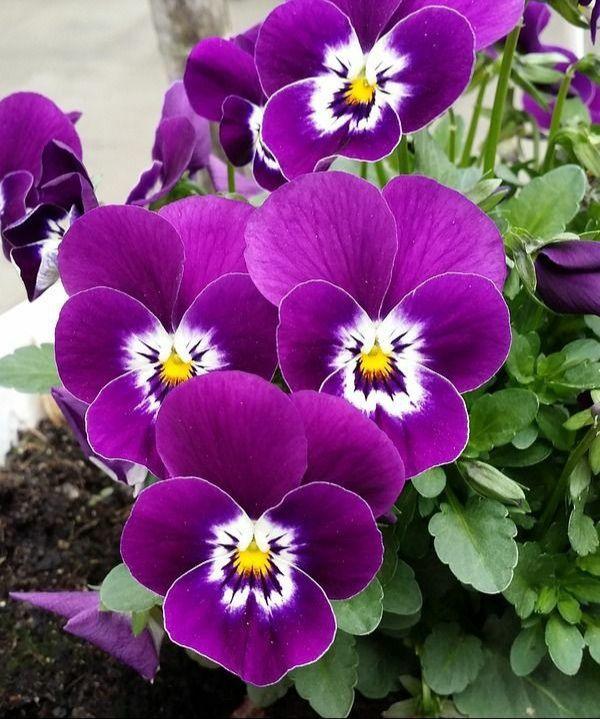 Pin By Luciana Alfieri On Belas Flores In 2020 Pansies Flowers Pansies Viola Flower