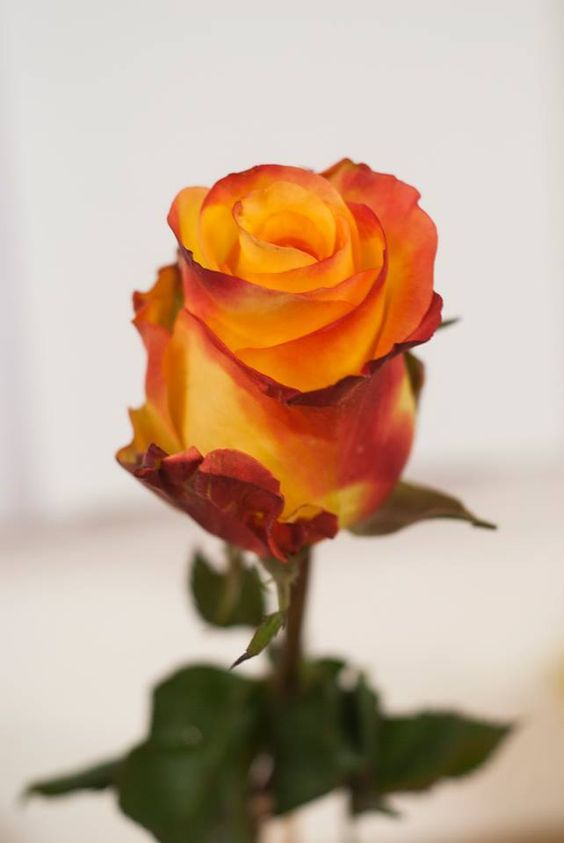 Rosa Naranja . .