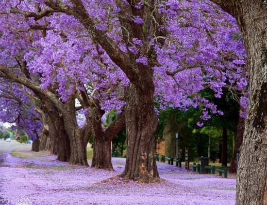 The annual Jacaranda Festival in Grafton is truly a wonder to witness.