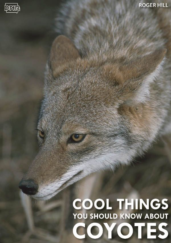 Coyotes can run as fast as 40 mph and more cool things you should know about coyotes | Iowa DNR