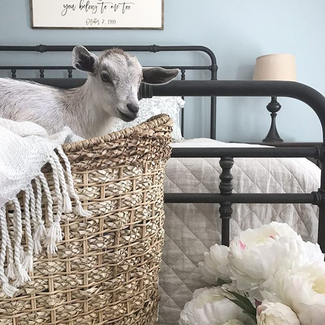 Not exactly a calm, simple, S A T U R D A Y for us with new baby goats on the farm and a soccer tournament, but thankful for the weekend nonetheless. I'd like to introduce y'all to Daisy. Enjoy your day friends.🌿 . Sharing for some sweet friends who tagged me: •Elizabeth @myfancyfarmhouse #fancyfarmhousefriday •Brianna @diyinspiredhouse #friyaydecorday •Holly @farmhouseoncolonial #floralfarmhousedecor •Kala @kalakleindesigns #myshabbycottage •Mary Ann @graceinthisspace #weekenddecorrevival…