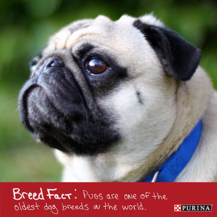 Everybody loves a pug! Did you know that this popular dog breed is one of the oldest in the world! Check our more dog breed facts here.