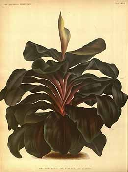 Cordyline fruticosa (L.) A. Chev. [as Dracaena cuprea L.Linden & Rodigas]  / L' Illustration horticole, vol. 40: t. 167 (1893)
