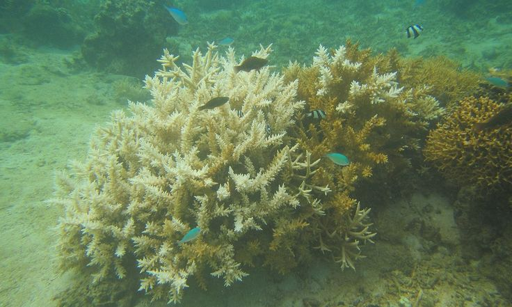 Devastating global coral bleaching event could hit Great Barrier Reef next | Environment | The Guardian