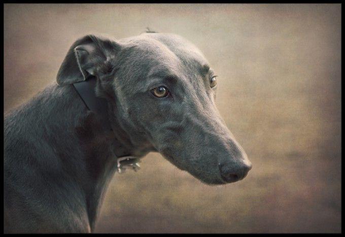 "Man's Best Friend... ""Sighthound"" - by Photo.net photographer Pauline Fowler"