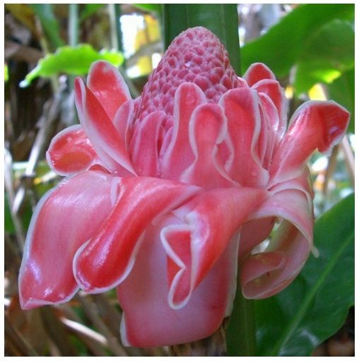 Pink Torch Ginger Seeds Most Splendid Flowers 25 Cm Across