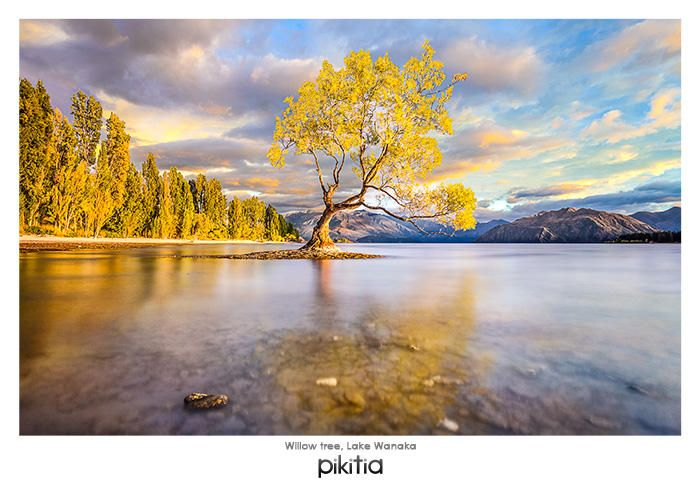 Postcard 'Willow tree, Lake Wanaka' which is found in Pikitia's high quality range of postcards