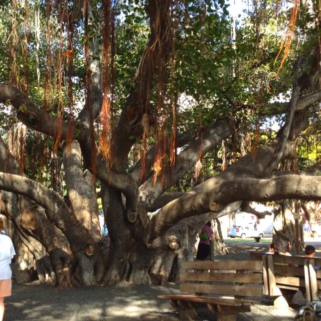 Lahaina Banyan Tree. Ryan and I would eat ice cream under it every night