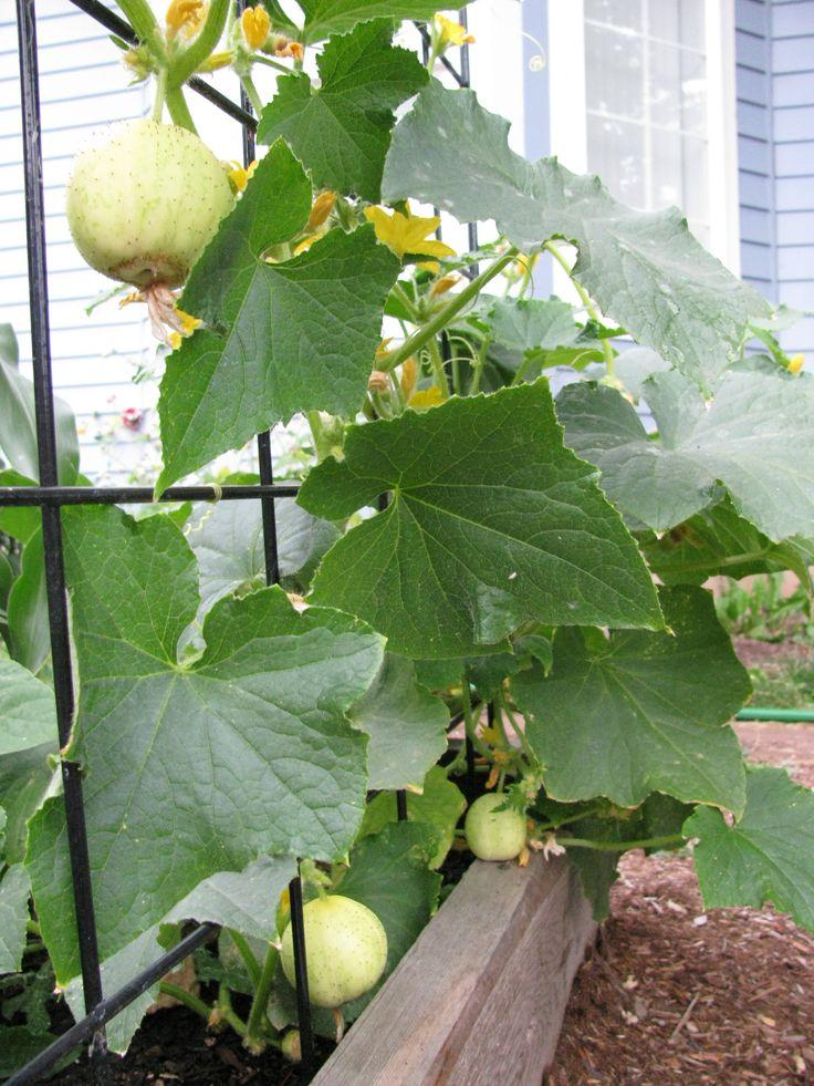 Growing Lemon Cucumbers Vegetable Plants Pinterest 640 x 480