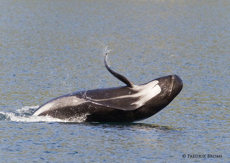 Pilot Whale | Pilot whale playing in the water