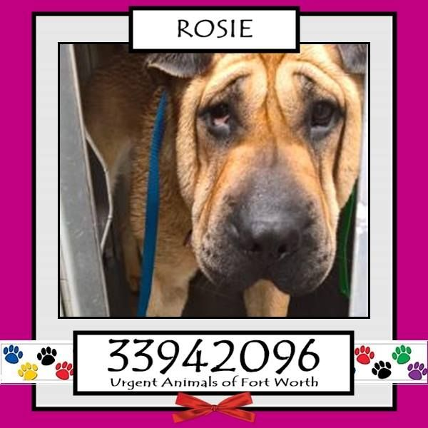 Fort Worth, TX - Current Status: CODE RED Reason for URGENT: Injured leg - will require amputation Animal ID: 33942096 Name: Rosie Breed: Shar Pei mix Sex: Female Age: 1 year Weight: 59 lbs. Intake: 11/8/16 Found: 5200 blk James Personality Friendly.Euthanasia date 01/28/17.