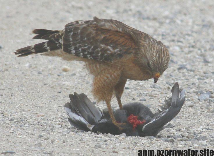 Hottest Cost Free Birds Of Prey Identification Style Birds In Louisiana Like A Birds Of Food Digital Photographer The Most Impor Birds Birds Of Prey Hawk Bird