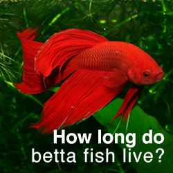 2 to 3 years is an average life span for a betta fish