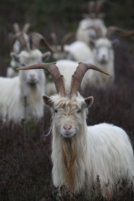 *The Norwegian goat is found throughout Norway.  It is kept for both milk and meat production.  It is found in gray, blue, white or pied coloration.  The Norwegian also has long hair. Re-pinned for You by #Europass
