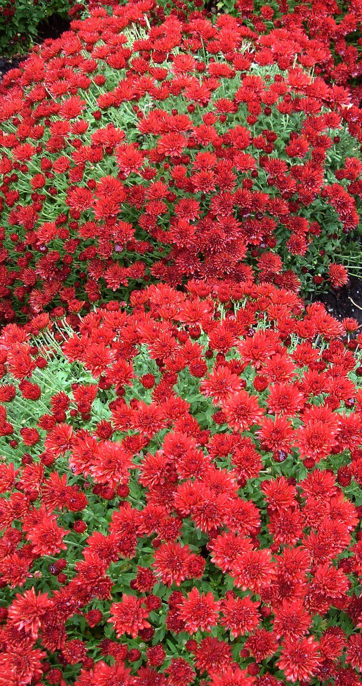 "Chrysanthemum / Garden mum Red Chrysanthemum symbolises ""I love"" in the Victorian language of flowers."