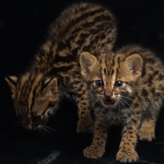 Video by @joelsartore | At just four-weeks-old, these two leopard cat kittens (Prionailurus bengalensis) are lucky to be alive! Like most wild cat species, mothers hide their young in a quiet location while they're hunting and return later to nurse them. These babies were found hiding in a field that humans had started to burn for agriculture. Unfortunately, humans sometimes find these kittens and wrongly presume that they are abandoned or orphaned and pick them up, but in this case it was