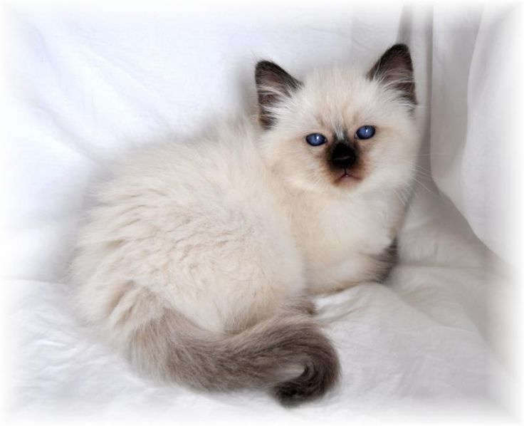 Balinese Cat Breeders - Cats - Kittens