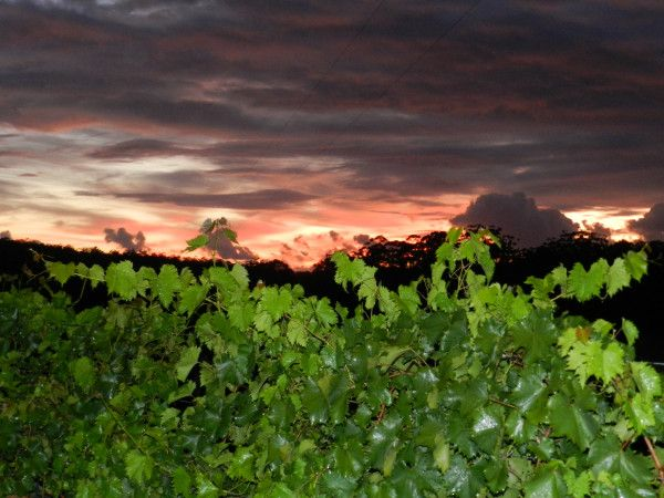 A fine morning at Bago Vineyards, helpful, we are half way through a great vintage, just need two more fine weeks