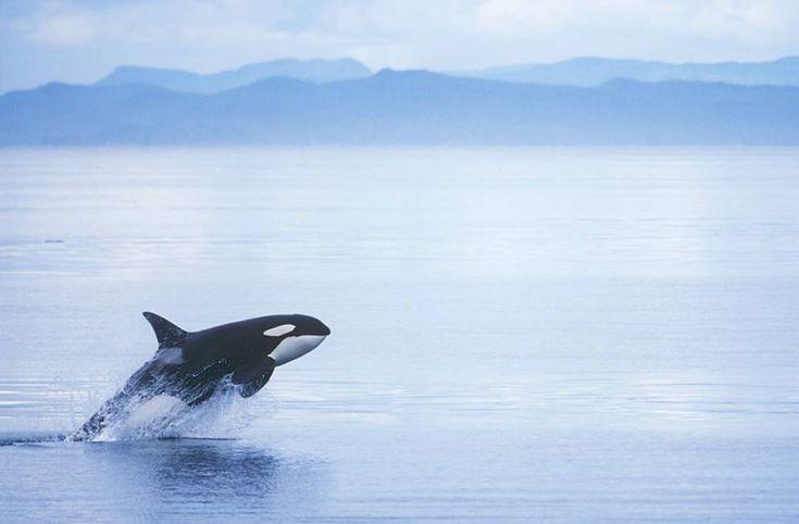"Gefällt 6,783 Mal, 19 Kommentare - Wildlife Animals & Nature (@wildlife.hd) auf Instagram: "". Big oil v orcas: Canadians fight pipeline that threatens killer whales on the brink.…"""