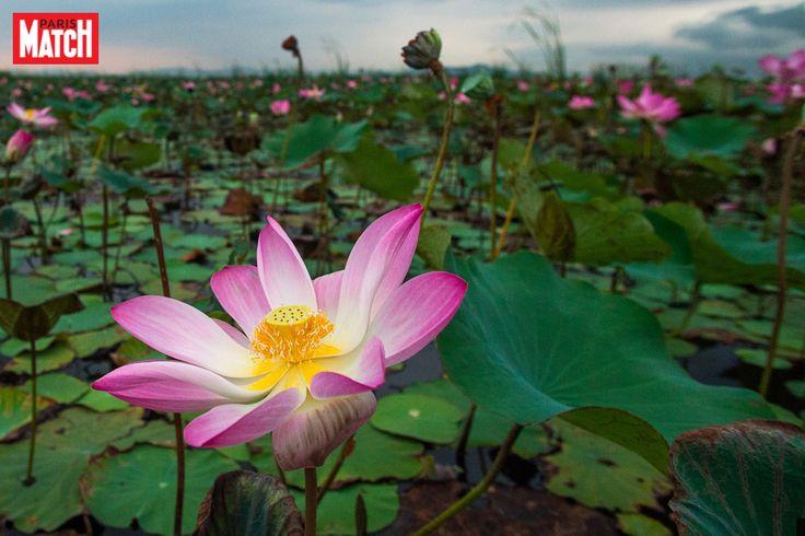Dans le parc national de Khao Sam Roi Yot (Thaïlande), le lotus bleu a fait son apparition alors qu'il n'avait pas été observé depuis dix ans à cause...