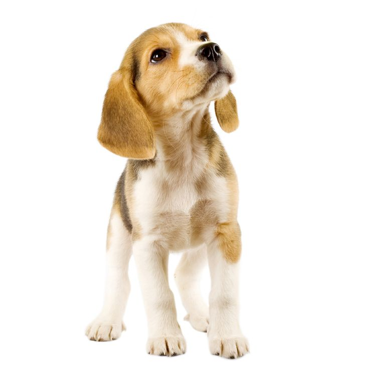 10 Surprising Facts about the Beagle