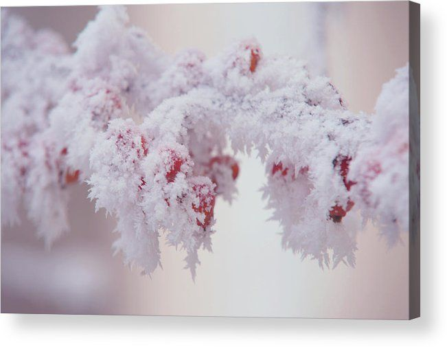 Frosty Red Berries. Gentle Winter Acrylic Print by Jenny Rainbow.  All acrylic prints are professionally printed, packaged, and shipped within 3 - 4 business days and delivered ready-to-hang on your wall. Choose from multiple sizes and mounting options.