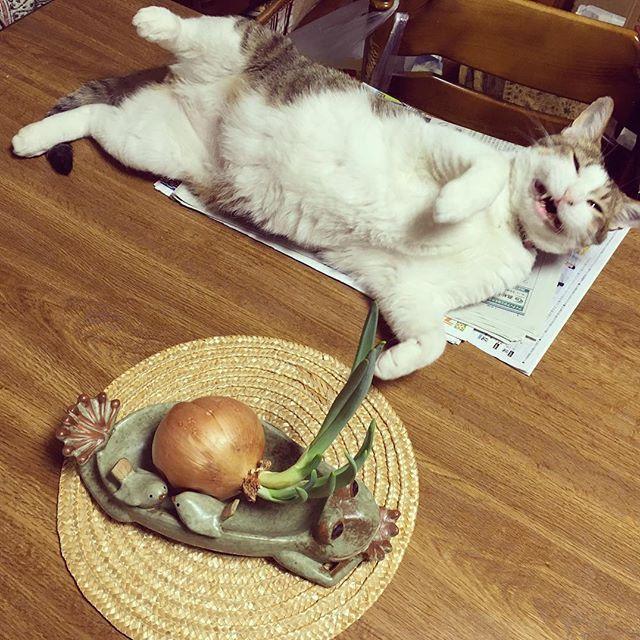 三月に里親になった らくちゃん(Luck幸運と言う意味) エイズキャリアもあり、 捨て猫時代の苦労か歯があまりありません。 でも、よく食べます(笑)健康です☺ エイズは一生発症しない子もいるそうです🌈  歯がないのが、キュートすぎる(笑)😊 なかなか、撮れない一枚です。 #猫 #愛猫 #里親