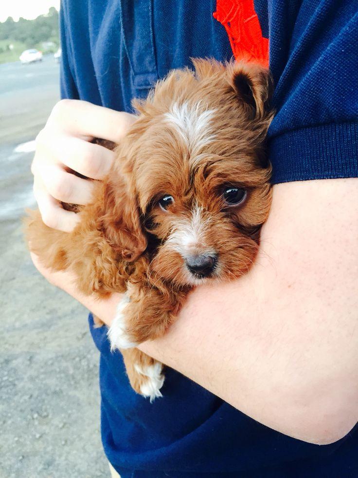 39 best Cavapoo images on Pinterest | Cavapoo puppies ...