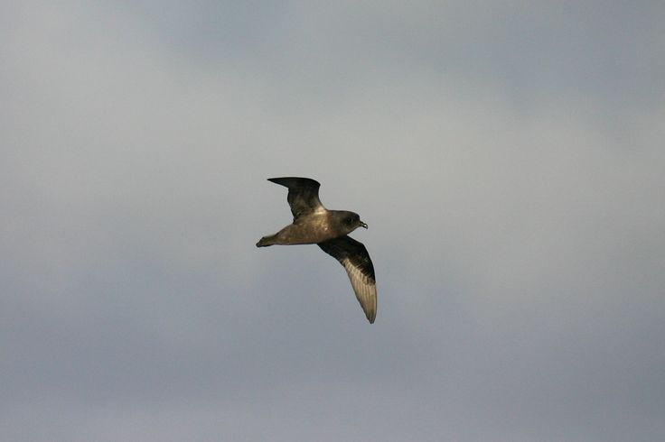 3857. Kerguelen Petrel (Aphrodroma brevirostris) | breeds colonially on remote islands; colonies are present on Gough Island in the Atlantic Ocean, and Marion Island, Prince Edward Island, Crozet Islands and Kerguelen Island in the Indian Ocean