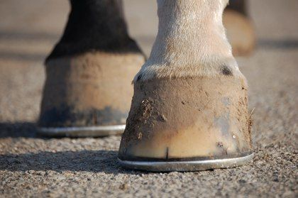 Physical Exam of the Horse Hoof - TheHorse.com | Learn about healthy #hoof conformation and common, potentially function-affecting abnormalities. #horses