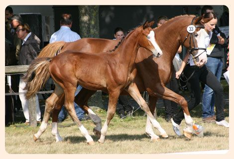 Dam Scharade (back) of both colored Trakehner colts (Schiller and Something to Talk) - Pictured with Schiller