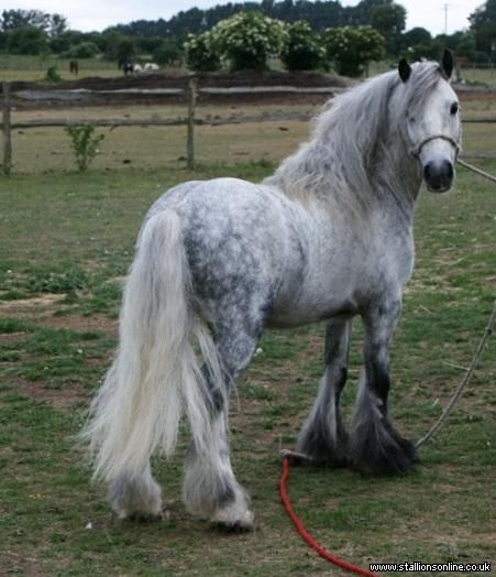 Highland Pony--love solid, chunky little ponies like this one! Beautiful ^_^