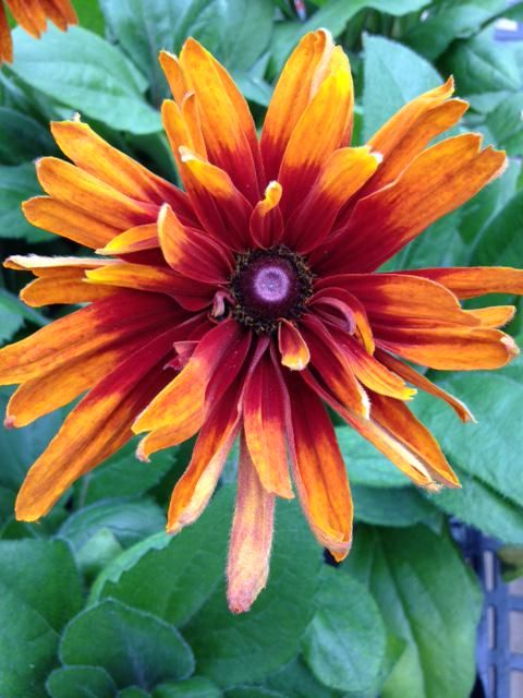 A burst of color for your afternoon. Gloriosa Daisy in the Ripley Garden http://ow.ly/NVUrq