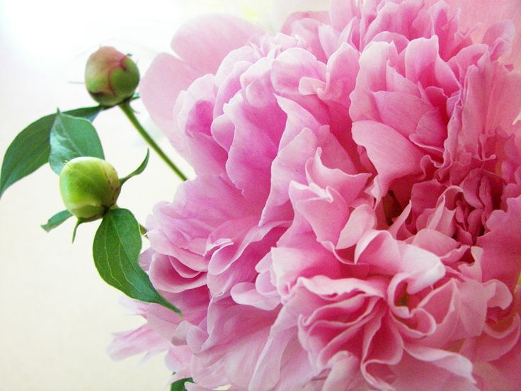 Открытка с розовыми пионами