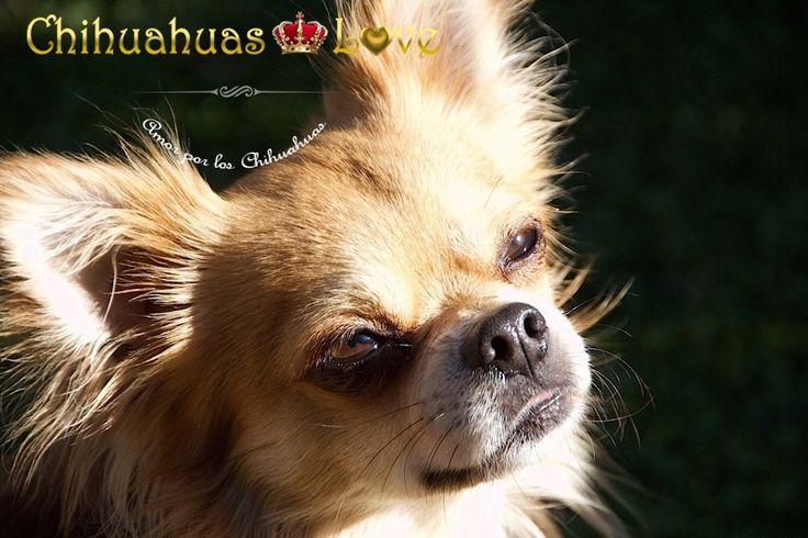 leer blog chihuahuas mejorado