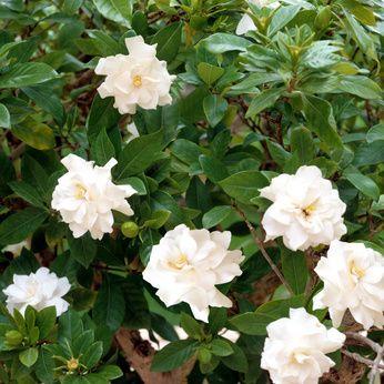 Gardenie (Gardenia jasminoides) - Pflege & Überwintern