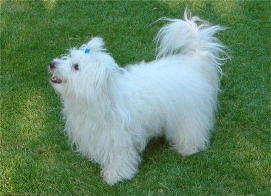 * Котон де Туло - Маленькие мини собаки. Декоративные породы.Породы собак. Комнатные собаки. Уход, кормление, содержание, воспитание, дресси...