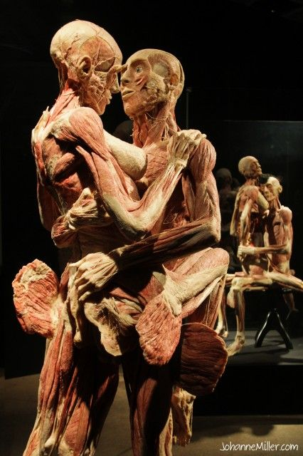 Bodies Exhibit Nerves furthermore X5c6bb0 besides 5 furthermore Body Worlds Pulse Review For Kids furthermore Human Brain. on bodies exhibit circulatory system