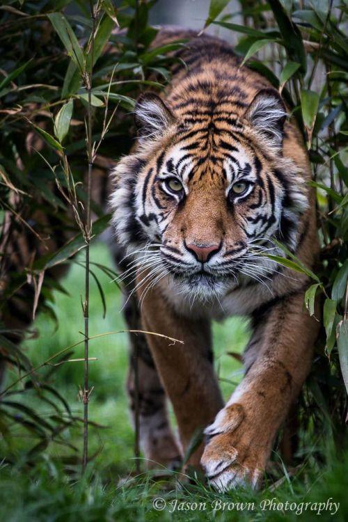 Sumatran Tiger - PUNA by Jason Brown Via Flickr: