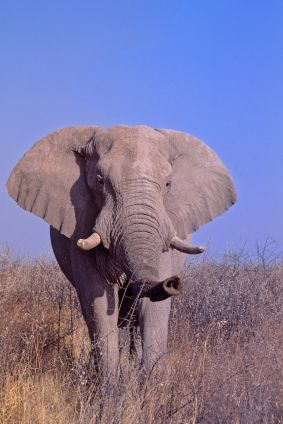 African elephant from Animal Fact Guide