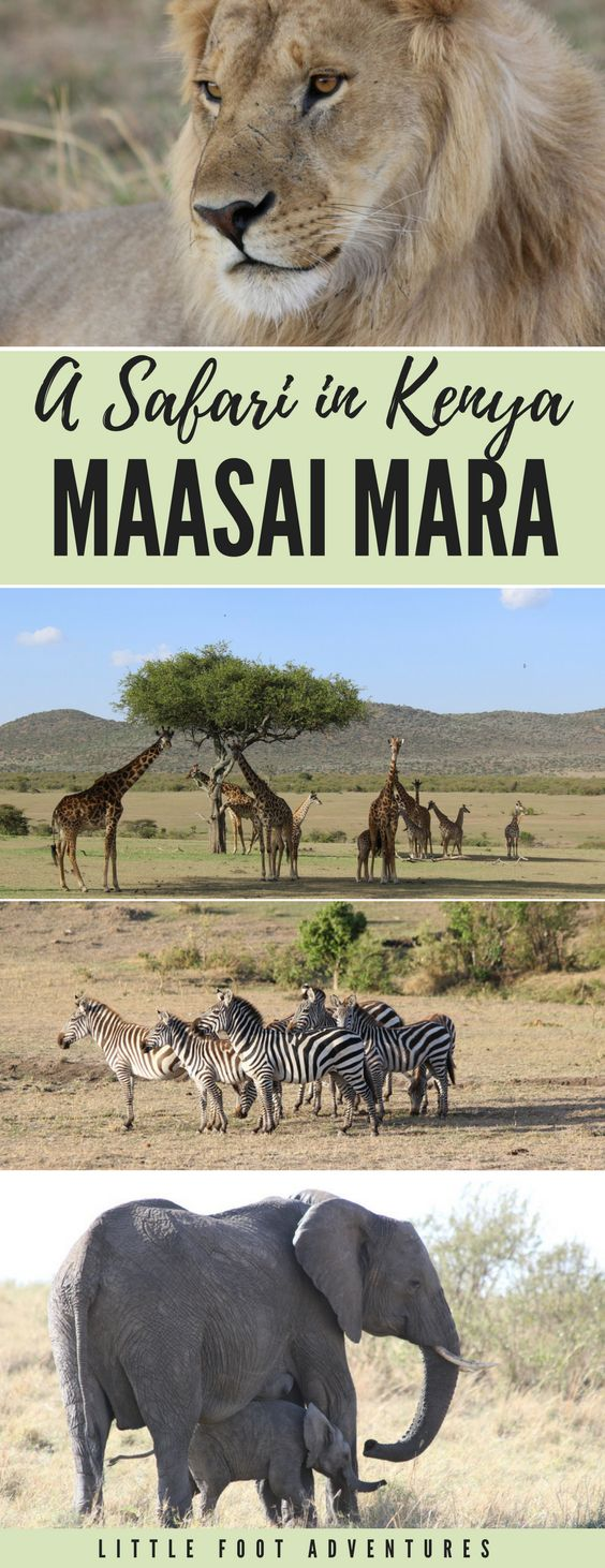 6 day Safari in Kenya. FIRST STOP: Maasai Mara National Reserve.  Read my experience of 3 days driving in the middle of the most incredible wildlife, dust, rocks and fun!  Safari | Africa | Packing | List | Packing Tips | Packing Advice | Planning | Wear | Kenya | Africa | Wildlife | Wildlife Animals | Animals | Safari |Giraffe | Elephant | Zebras | Lions | Big 5  #safari #tips #List #wildlife  #animals #lion #giraffe