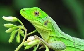 Mundo Curioso : Los lagartos podrían extinguirse debido al calenta...