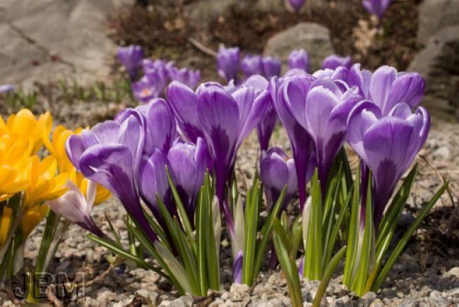 Crocus vernus: avril Grand ménage du printemps; Dès que le sol est suffisamment sec. Gardez-vous de piétiner la pelouse trop tôt en saison. Il faut éviter de marcher sur un sol détrempé. Ramassez les débris et taillez les branches mortes. Vous pouvez également rabattre le feuillage des plantes vivaces conservé comme élément décoratif durant l'hiver. Dans le cas contraire, vous pouvez laisser le paillis en place, mais brassez le un peu pour l'aérer.